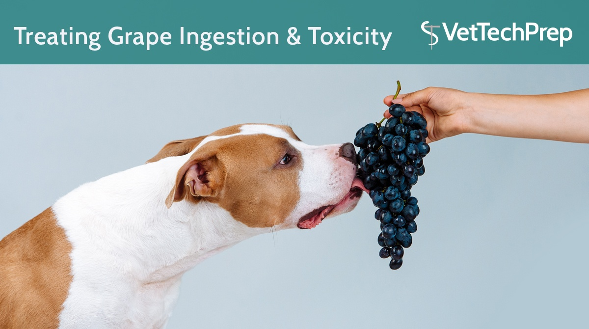 How-To-Treat-Grape-Ingestion-&-Toxicity