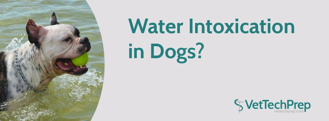 Water-Intoxication-in-Dogs