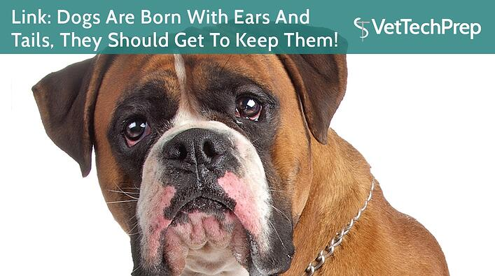 Link-Dogs-Are-Born-With-Ears-And-Tails-They-Should-Get-To-Keep-Them.jpg