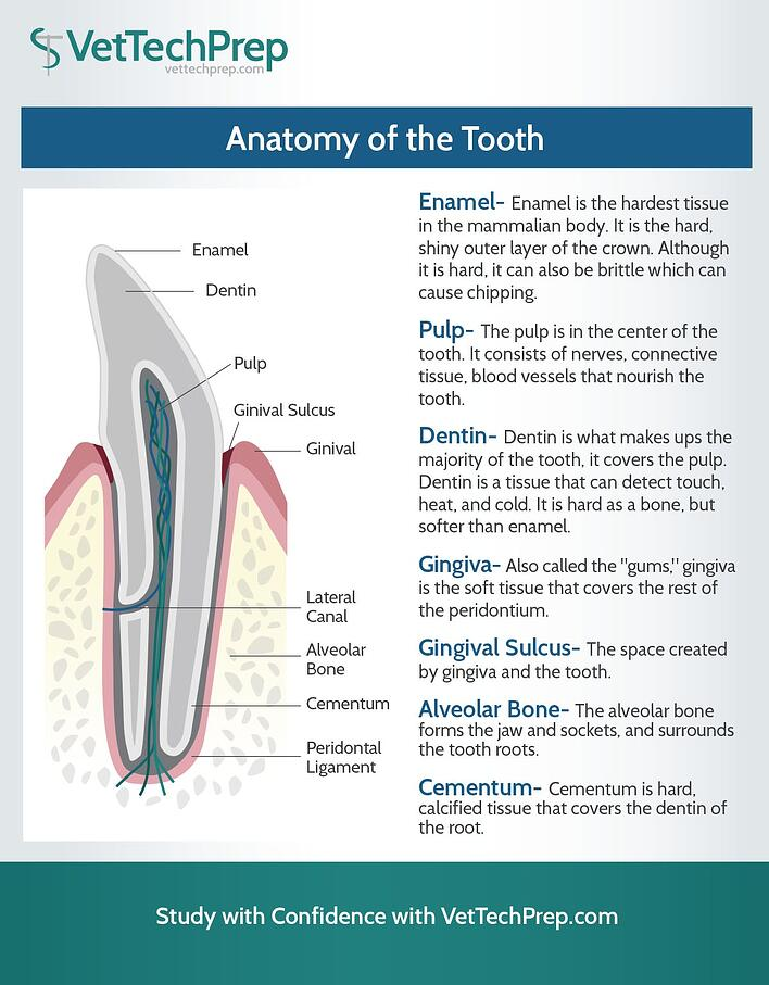Vet Tech Infographic: Anatomy of the Tooth